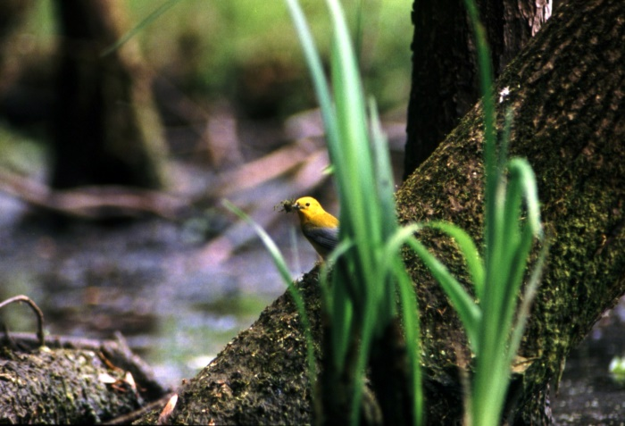 A prothonotary warbler claims his nest hole and the center of their territory with moss.