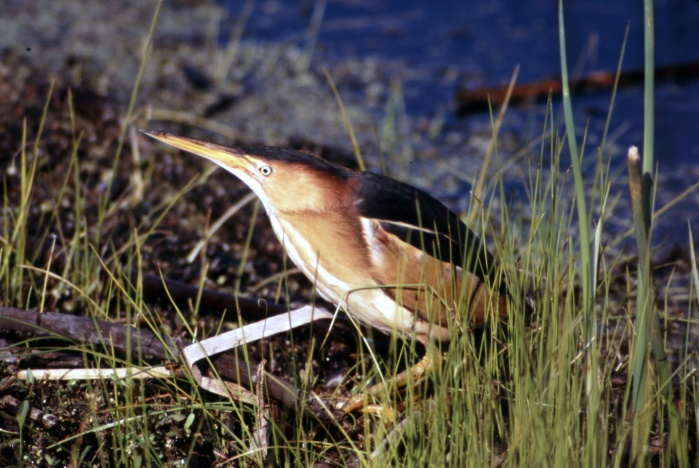 Red-headed, Least Bittern, Red-shouldered!