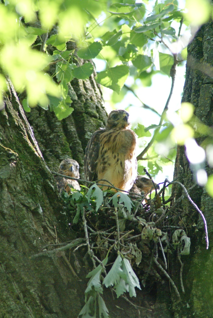 Red-shouldered hawks in a cottonwood
